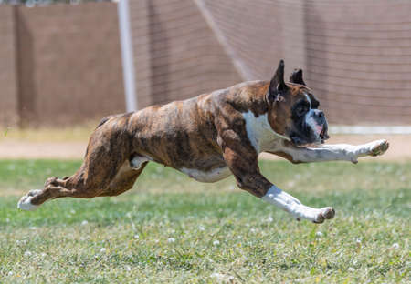 Boxer dog at a fast cat trial in the grass chasing a lure