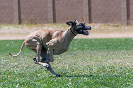Tan Great Dane in the grass at a fast cat event chasing the lure Stock Photo