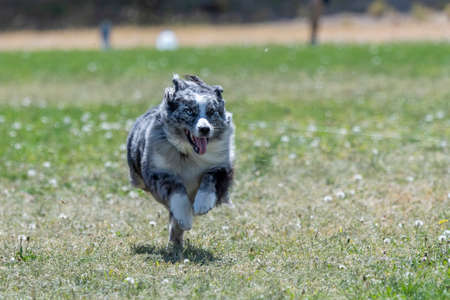 Australian shepherd chasing a lure during a fast cat trial Stock Photo
