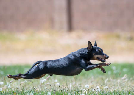 Min Pin during a fast cat competition chasing a lure in the grass