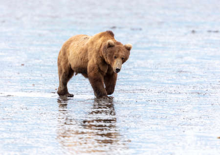 Male Alaskan brown bear walking in the mud flats during low tide