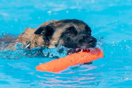 Belgian Malinois with an orange toy in the swimming pool 版權商用圖片