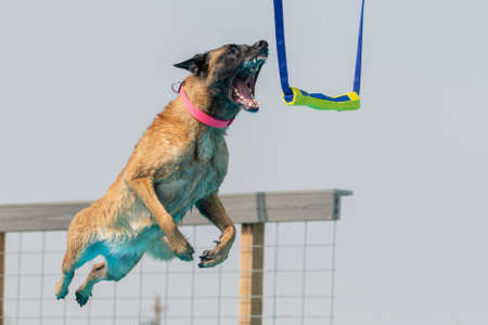 Belgian Malinois in mid air about to grab a toy while dock diving