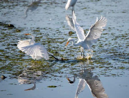 One great egret chases another away in the water while fighting for territory