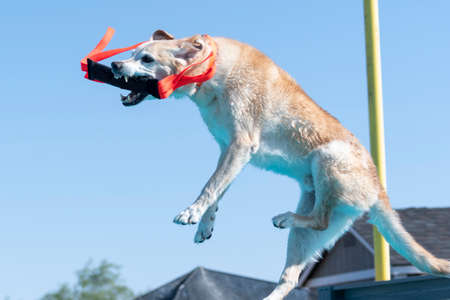 Yellow lab in mid air with a toy caught after jumping off a dock at an event 免版税图像