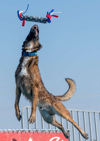 Brown Malinois in mid air at a dock diving event about to catch a toy