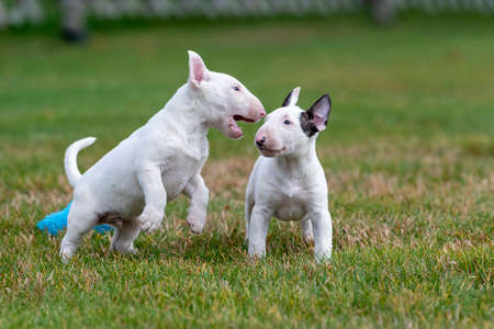 Two miniature bull terrier puppies playing in the grass