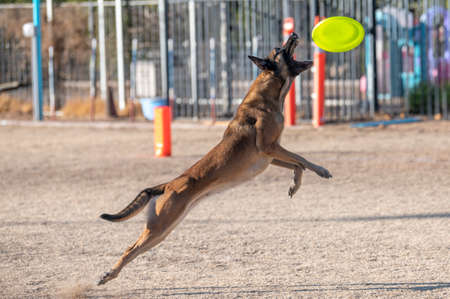 Malinois jumping in the air at the park to catch a disc