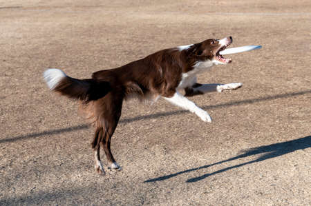 Brown and white border collie about to catch a disk while playing at the park