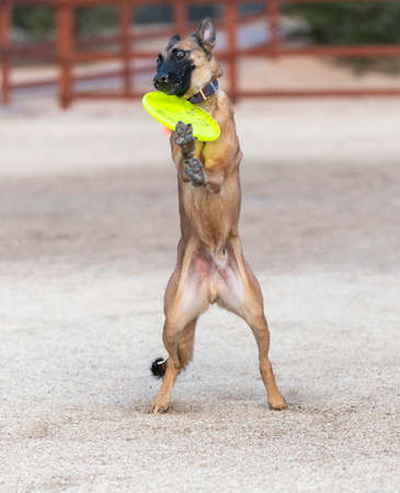 Belgian Malinois trying to catch a disc at the park between his head and his paws