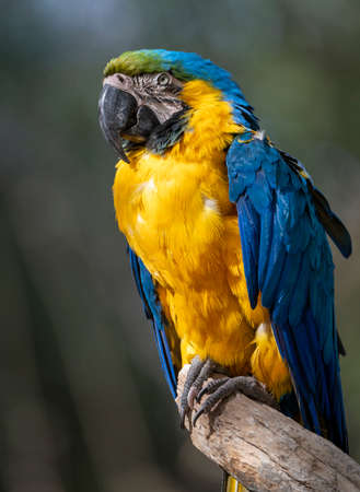 Blue and gold Macaw parrot sitting on a branch in the sun Stock Photo
