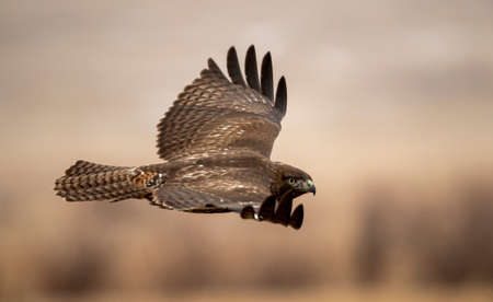 Low flying, young red tail hawk Stock Photo