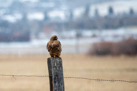 Young red tail hawk on a post in a snow storm Stock Photo