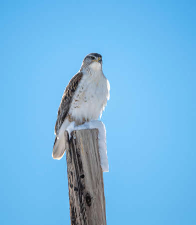 Ferruginous Hawk, largest of the hawk family, sitting on a post with snow Stock Photo