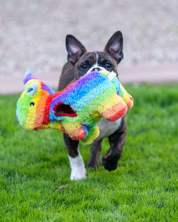 Young puppy carrying a rainbow toy on the grass