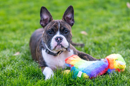 Brindle mixed breed bully with his rainbow toy in the grass