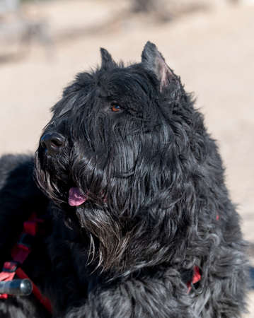 A black Bouvier dog posing for a natural lighting portrait outdoors