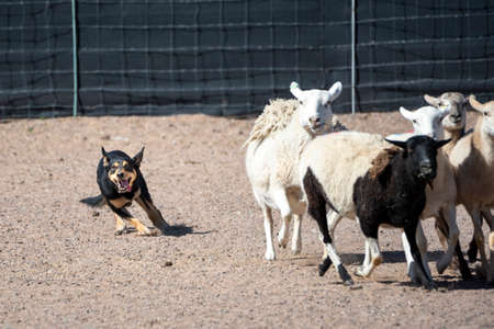 Black and tan Kelpie dog herding a group of sheep during an event