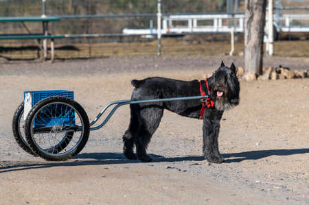 Bouvier pulling a cart during a herding and carting event