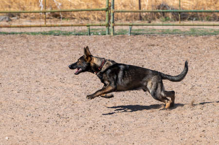 German Shepherd dog in an arena during a sheep herding event Stock Photo