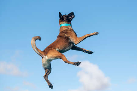 Belgian Malinois against the blue sky and clouds after jumping off a dock Stock Photo
