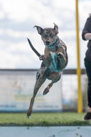 Herding breed, Catahoula dog, in the air after jumping off a dock Stock Photo