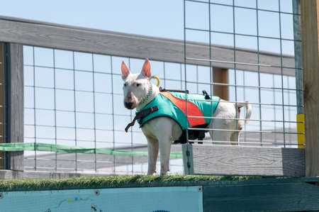 White bull terrier in a floatation vest on a dock waiting to jump into a pool Stock Photo
