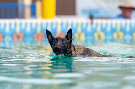 Malinois puppy swimming in a pool and staring at the camera