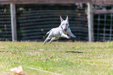 Miniature white bull bull terrier on a FastCAT lure line race