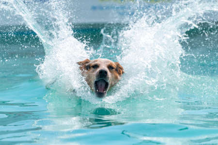 Red cattle dog trying to get to a toy in a pool after jumping off a dock