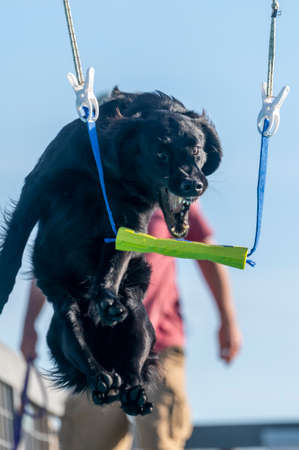Flat coated retriever about to grab a toy over a pool during a game
