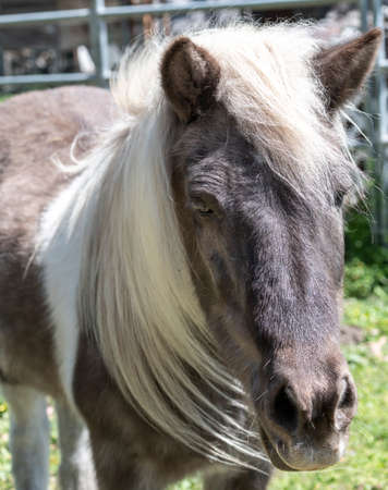 Small Icelandic horse posing outside for a natural headshot