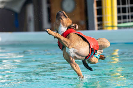 Brown Staffordshire terrier dog trying to reach his toy and landing crooked in the pool