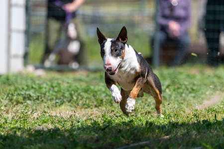 Miniature bull terrier chasing a lure line Stock Photo