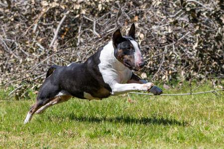 Tri colored miniature bull terrier running through the grass