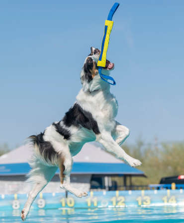 Tri color dog catching a toy over a pool at a dock diving event