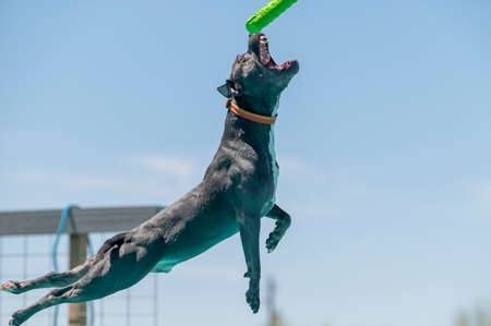Gray pitbull catching a toy in mid air during a dock diving game
