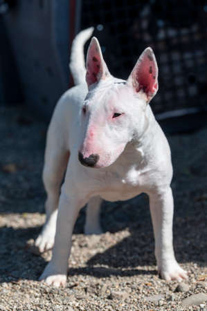 Mini bull terrier standing and posing for an outdoor photo