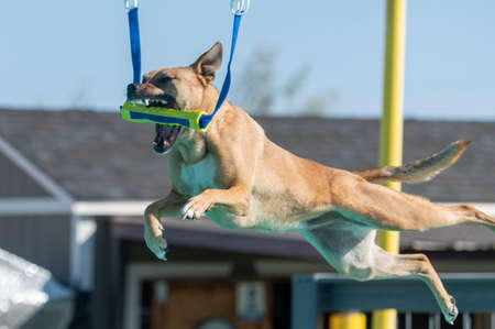 During a dock diving game, a mixed breed dog grabs a yellow toy