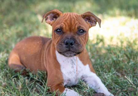 Red Staffordshire Terrier puppy in the grass chewing on a weed posing in a natural portrait Stock Photo