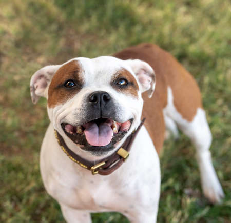 Natural portrait looking down at a red and white Staffordshire Terrier Stock Photo