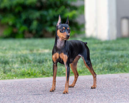 A black and rust Min Pin posing outdoors by the green grass