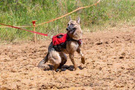 Dirty German Shepherd in the mud playing during a mud race