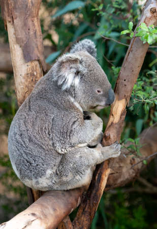 Koala bear sitting in a tree Stock Photo