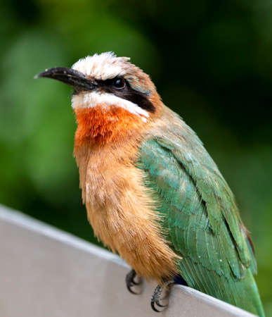A white fronted bee eater bird on a post looking for food