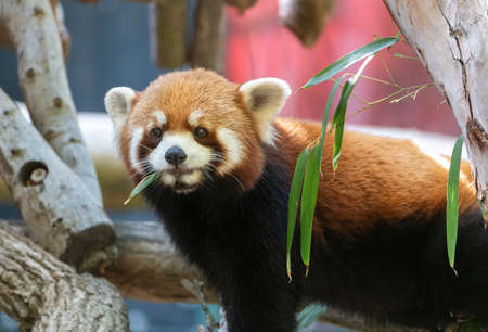 Red Panda standing in a tree chewing on a leaf Stock Photo