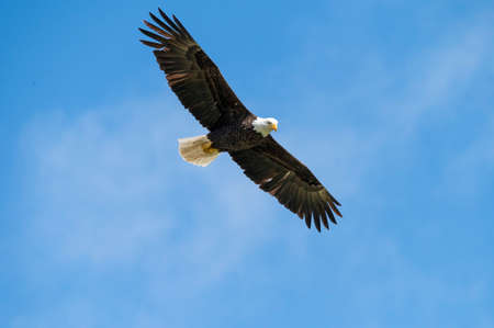 Adult bald eagle flying high against a bright blue sky