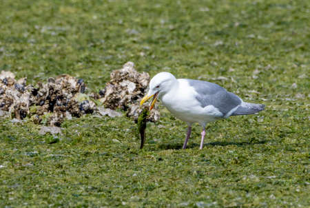 Western seagull eating a fish at low tide out of the green seaweed Stock Photo