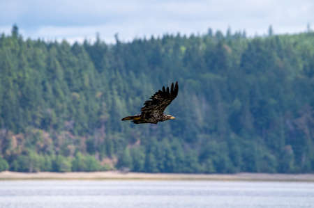 Young bald eagle flying in low over a bay of water looking for fish Stock Photo