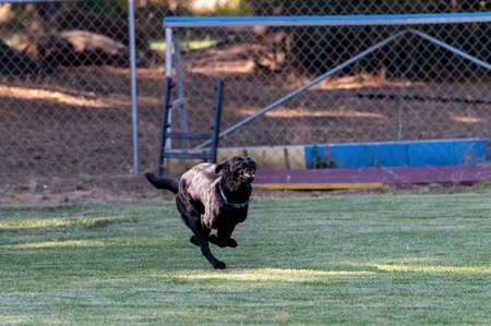 Labrador retriever running in the grass with a big grin on her face